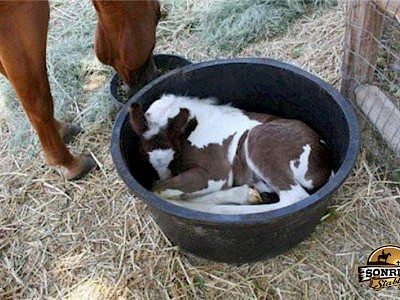 foal in trough